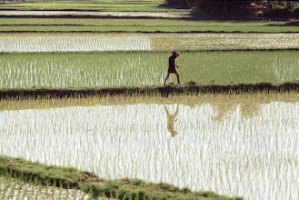 Photo: Landscape of a man walking on a rice paddy dike near Phu Tai, Vietnam with mirror reflection. Copyright James Speed Hensinger.