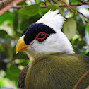 White- crested Turaco