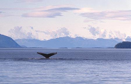 humpbackwhale_southeast_alaska_adfg.jpg