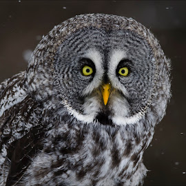 Great Grey Close-up by Jen St. Louis - Animals Birds ( raptor, owl, bird of prey, great grey owl, portrait,  )