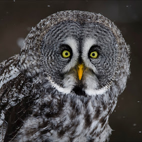 Great Grey Close-up by Jen St. Louis - Animals Birds ( raptor, owl, bird of prey, great grey owl, portrait,  )