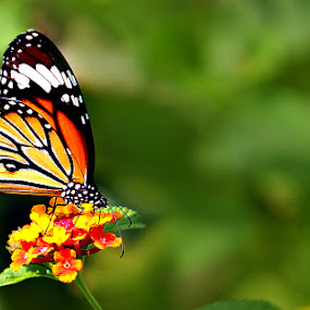 Butterfly... by Shibram Nag - Animals Insects & Spiders ( butterfly... )