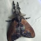 Brown tussock moth