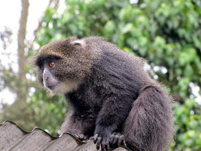 Photo: Blue monkey