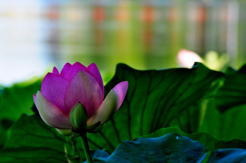 profumo loto di flori