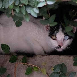 Amazing Eyes - No Photoshop  by Beh Heng Long - Animals - Cats Portraits ( cat eyes )