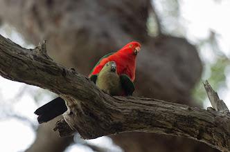 Photo: King parrots doing it