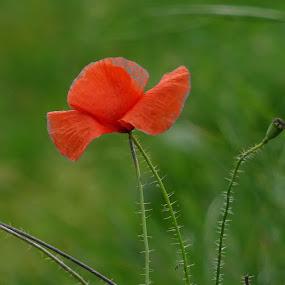 single poppy by Arif Burhan - Flowers Flowers in the Wild ( wild, red, poppy, flower )