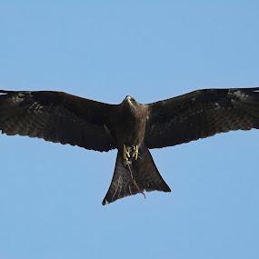 The Eagle by Mallikarjun Nath - Animals Birds ( flight, flying, birds, hunter, wildlife )