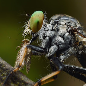 robberfly in action by Zaidi Razak - Animals Insects & Spiders