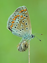 Photo: Argus bleu, Polyommatus Icarus, Common Blue  https://www.facebook.com/macro.photography.butterfly