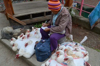 Photo: Smart way to transport poultry