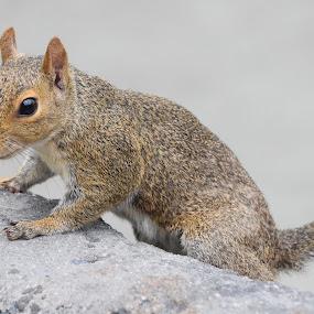 Squirrel by Keith Heinly - Animals Other Mammals ( squirrel, florida, disney, rodent, animal )
