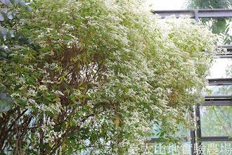 Photo: 拍攝地點: 春陽-可愛植物區 拍攝植物: 聖誕初雪 拍攝日期: 2013_12_20_FY