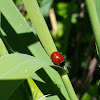 Spotless Ladybird Beetle