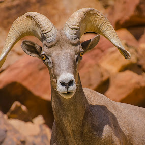 Young ram by Dan Larsen - Animals Other ( animal, wild, sheep, ram )