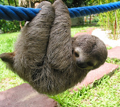 Photo: Sloth named Maria, who we now think is Jesus, our first baby boy, now named after the gardener that saved her/him! She is about 1 1/2 months old.