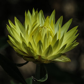 Nice yellow by Bernard Tjandra - Flowers Single Flower