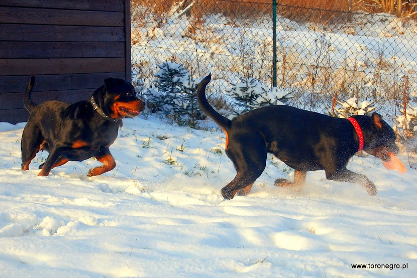 suki rottweiler gonią się po zimnym śniegu