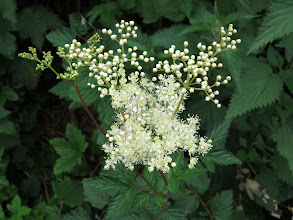 Photo: 1 Jul 13 Woodhouse Lane: This is Meadowsweet (Filipepedula ulmaria) with dense clusters of creamy-white flowers. Strangely this is in the Rose family. (Ed Wilson)