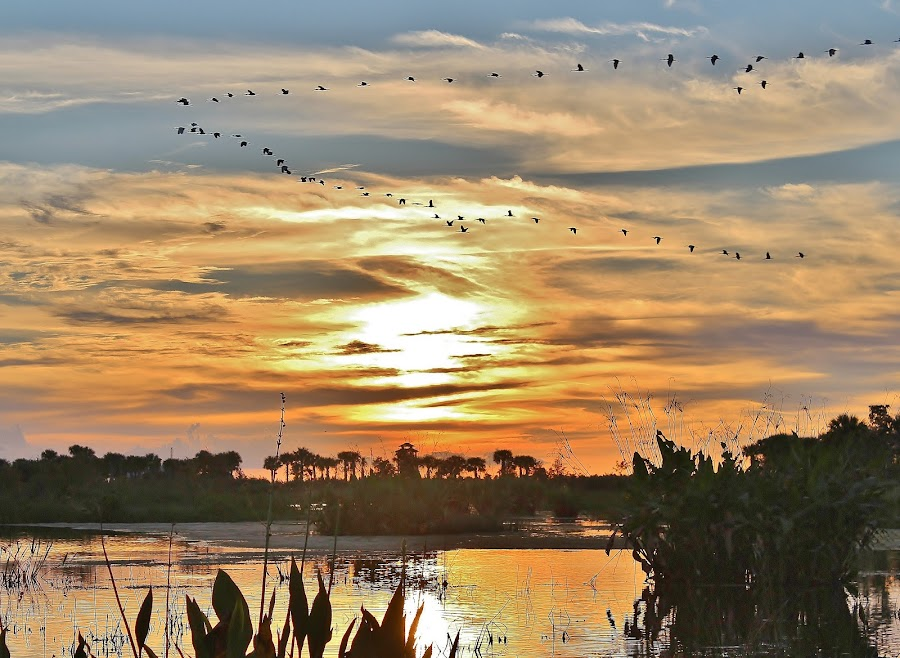 by Peg Elmore - Landscapes Sunsets & Sunrises ( water, ibis, sunset, night, flock, birds )