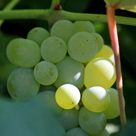 Green Grapes #2 by Tony Huffaker - Food & Drink Fruits & Vegetables ( yard, green, fruit, vine, grapes )