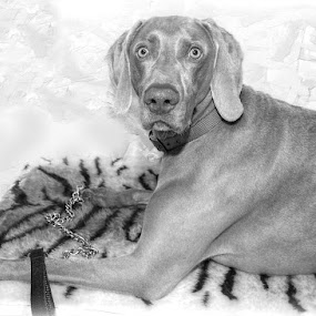 by Lisa Kirkwood - Animals - Dogs Portraits ( weimaraner, black and white, dog portrait, dog )