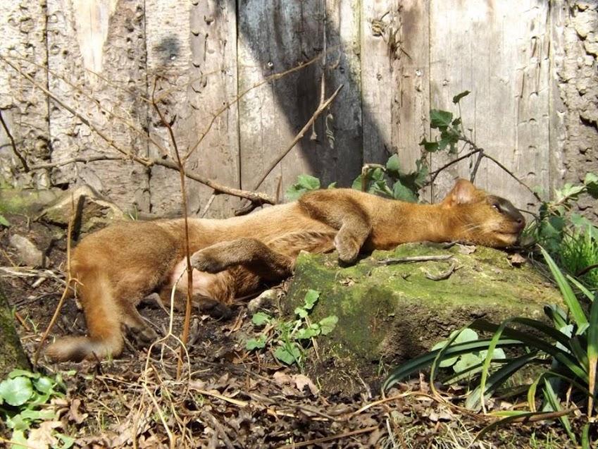Jaguarondi, Pont Scorff - Tous droits réservés