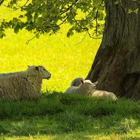 Shady Sheep by Louise Corr - Animals Other Mammals ( sheep lambs wool tree shade )