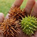 American sweetgum seed pods
