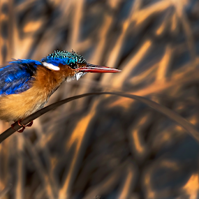 Malachite Kingfisher by Richard Wicht - Animals Birds ( bird, malachite kingfisher, south africa, kingfisher, wildlife, africa, birds,  )