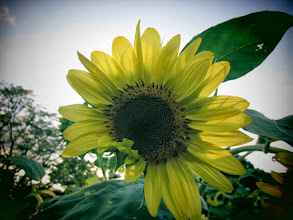 Photo: Toy camera photo of a bee on a sunflower at Cox Arboretum and Gardens of Five River Metroparks in Dayton, Ohio.