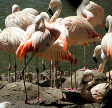 Photo: We caught a glimpse of the flamingos through the zoo fence.