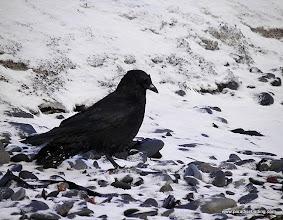 Photo: Northwestern Crow on the Homer Spit