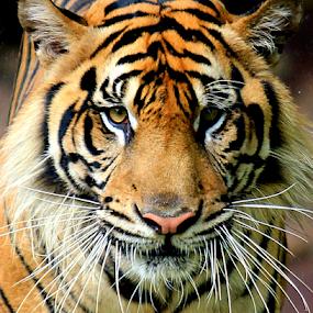 Don't Be Afraid by Yohanes Arief Dewanto - Animals Lions, Tigers & Big Cats ( wild animal, wilderness, wild life, tiger, sumatran tiger,  )