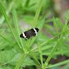 White-Striped Black
