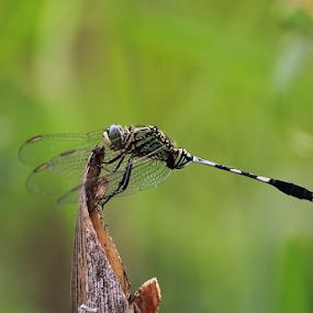 Orhtretum sabina by Deny Afrian Wahyudi - Animals Insects & Spiders ( dragonfly, biodiversity, nature, species, odonata )
