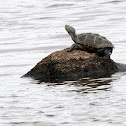Carolina Diamondbacked Terrapin