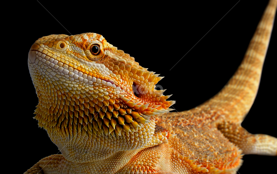 bearded dragon by Clayton Jordan - Animals Reptiles ( macro, ctj photography, bearded, dragon, reptile, close, up )