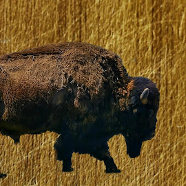 Bison Bull by Gaylord Mink - Animals Other Mammals ( animal, bison, bull )