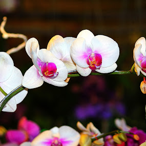 Beautiful white orchid. by Nguyen Huu Hung - Nature Up Close Flowers - 2011-2013