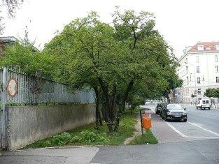 Śliwa wiśniowa Prunus cerasifera