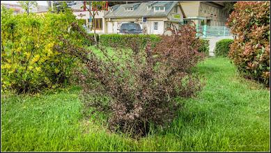 """Photo: Fizocarpul roșu """"Diabolo"""" (Physocarpus opulifolius """"Diabolo"""") - din Parcul Teilor - 2017.04.22"""