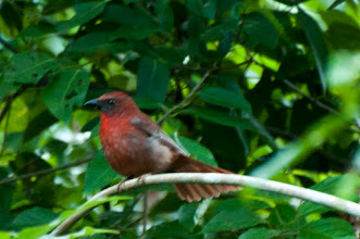 Photo: Red-throated Ant-Tanager (Schwarzkinnhabia); Bacalar, QROO