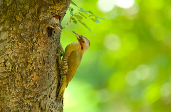 Photo: This Japanese Green Woodpecker was rearing three young in a tree in the Jindaishokubutsu Park in Tokyo. I'd been shooting for a few hours when the parent came back, and was keeping a little distance, trying to taunt the fledgling from the nest. I captured a touching moment as the parent just gazed at the young bird.