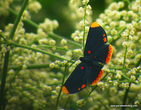 Photo: Red-bordered Pixie (Melanis pixe); Chacalilla