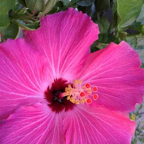 Simple Beauty by Denise DuBos - Flowers Single Flower ( pink, bloom, happiness, peace, purple, elegant, flower,  )