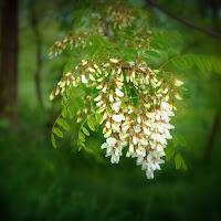 Fiore di robinia.