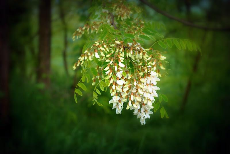 Fiore di robinia. di Daimon