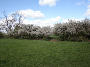 Photo: Hawthorn in blossom